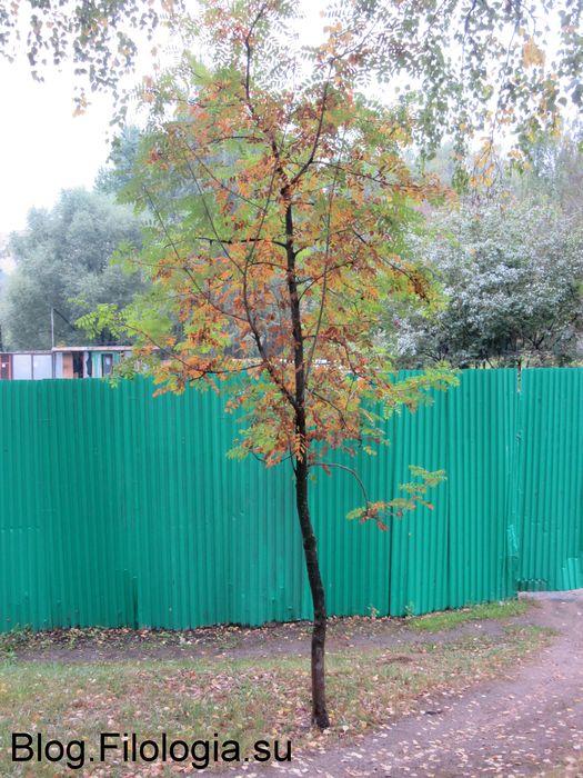 Деревце с пожелтевшими листьями на фоне забора (525x700, 93Kb)