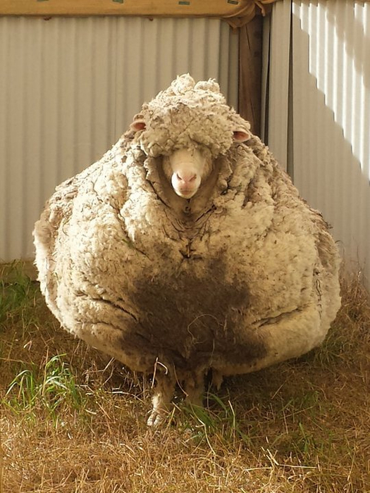 овца рекордсмен 4 (525x700, 388Kb)
