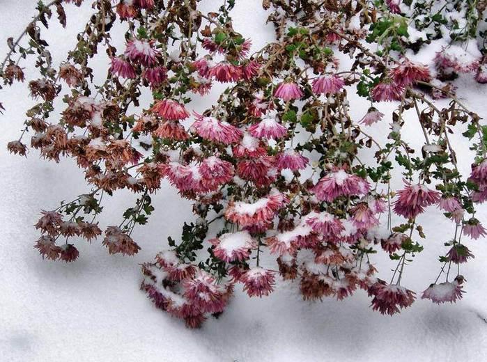 Хризантемы-под-снегом (700x520, 94Kb)