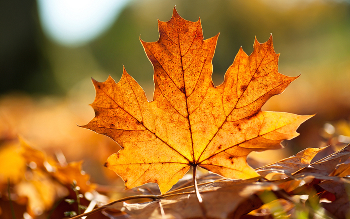autumn_leaf_wallpaper_by_emats-d37bcf2 (700x437, 355Kb)