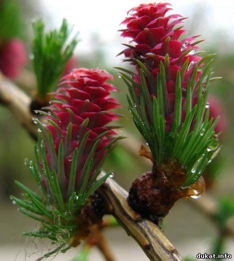 цветет лиственница сибирская 14 (468x520, 203Kb)