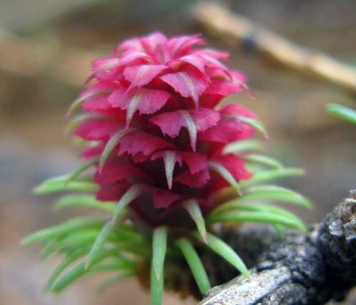 цветет лиственница сибирская 8 (500x428, 162Kb)