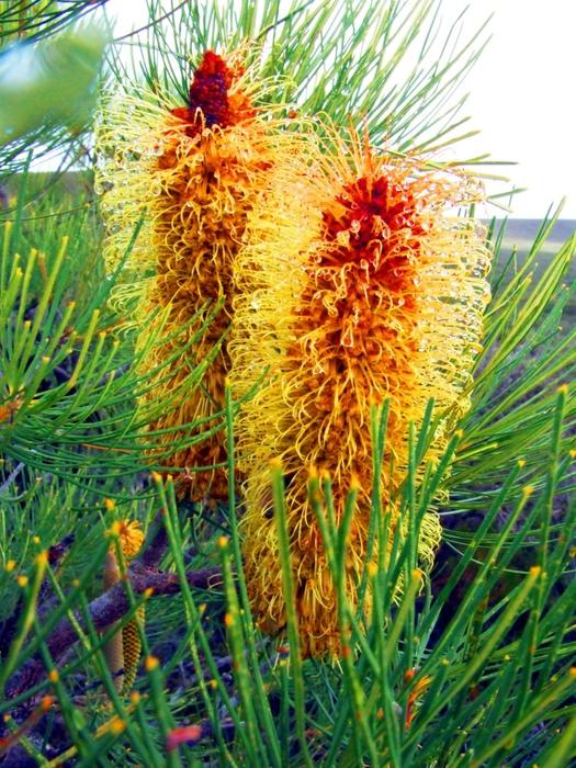 Banksia-tricuspis (525x700, 381Kb)