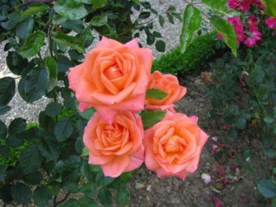 Розы сладкий аромат4ор (400x300, 32Kb)