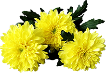 желтая-георгина (220x152, 73Kb)