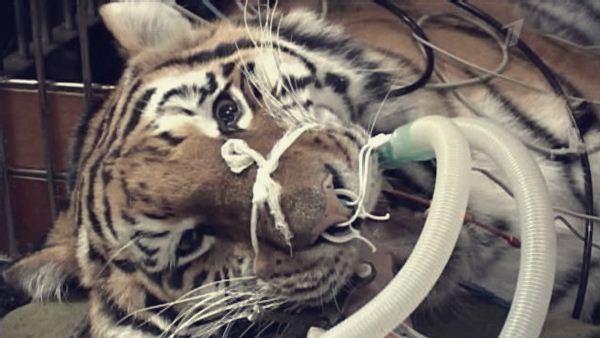 Тигрице провели стоматологическую операцию в Иваново лучшие врачи. Фотографии