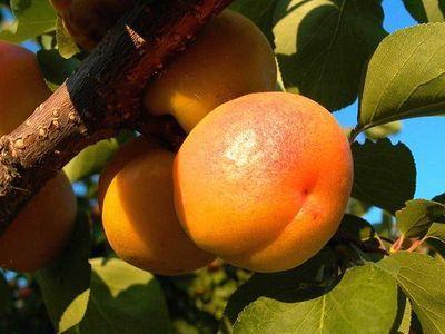 Ученые назвали самый сердечный фрукт (400x300, 23Kb)