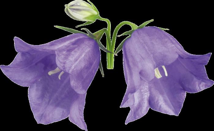 Колокольчики цветы картинки нарисованные 5