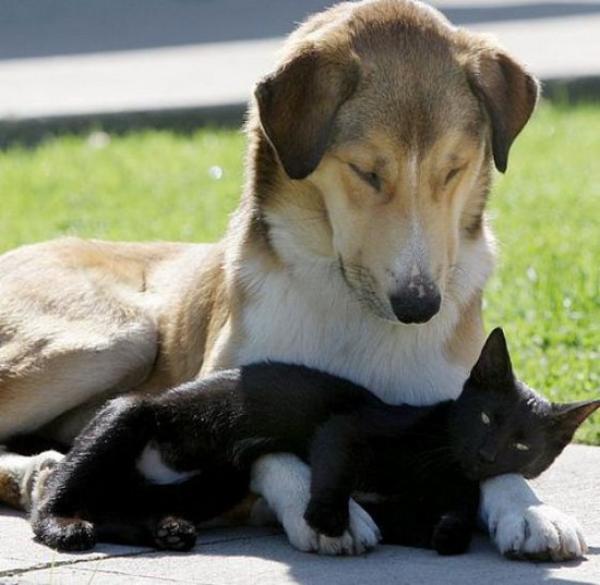 кошки, собаки, котята, щенки, как кошка с собакой/1783336_cats_and_dogs_88 (600x585, 41Kb)