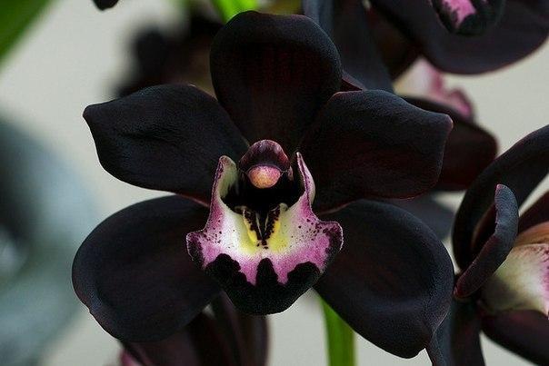 черная орхидея фото 1 (604x403, 37Kb)