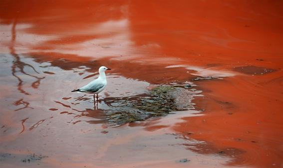 Вода стала кроваво-красной у побережья Австралии