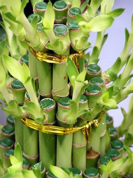 bamboo (262x350, 33Kb)