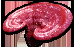 medium-ganoderma-mushroom (250x157, 66Kb)