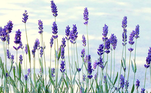 3407372_lavender4 (500x308, 61Kb)