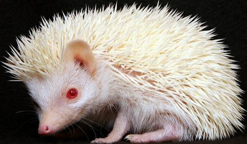 91990538_large_albino_hedgehog_2sfw (500x292, 28Kb)