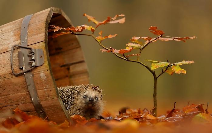 Обои ёжик, листва, осень для рабочего стола - картинка #36355, скачать бесплатно на WallBox.ru