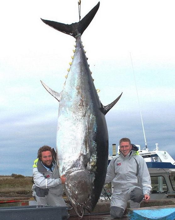 огромный тунец фото/1354269255_tunec_foto (557x700, 59Kb)