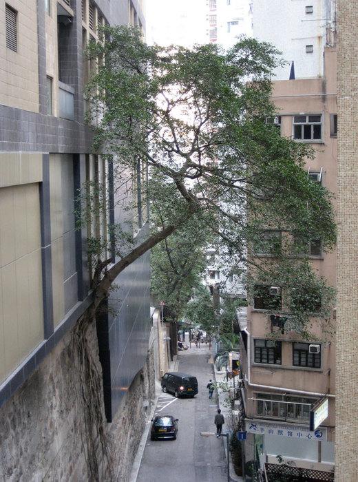 деревья на стенах гонконга фото 2 (520x700, 131Kb)