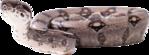 Превью Змеи_на_прозрачном_слое (22) (500x185, 150Kb)