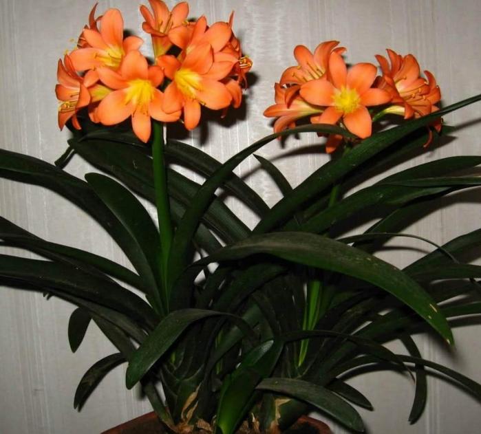 Цветущие комнатные растения неприхотливые в уходе