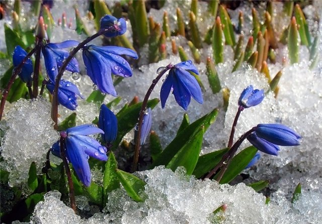 весна-подснежники (640x446, 86Kb)
