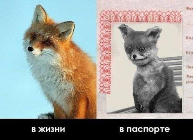 Смешные лисички  Прикольные картинки видео и фото животных