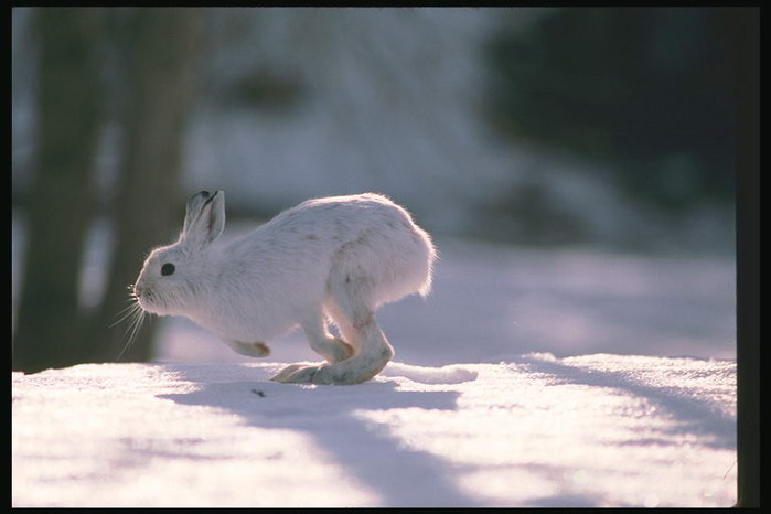 3368205_foto_hare_rabbit_23_2_ (700x466, 53Kb)