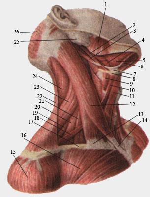 мышцы (305x400, 55Kb)