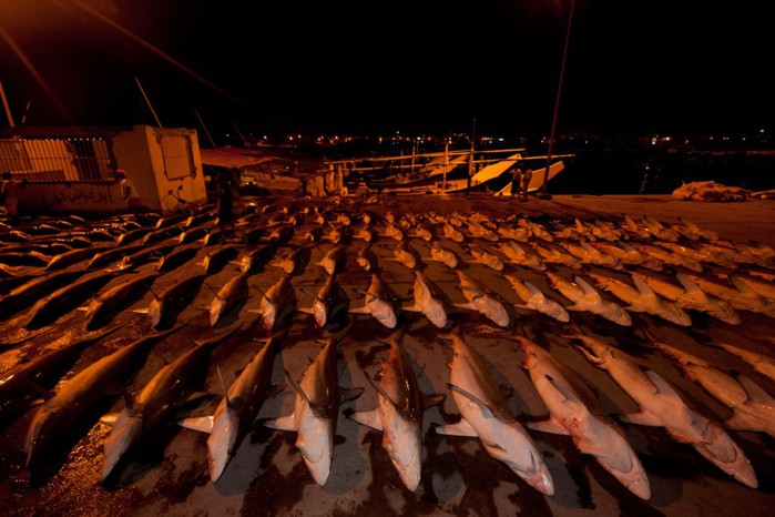 Акулий промысел фото 1 (700x466, 87Kb)