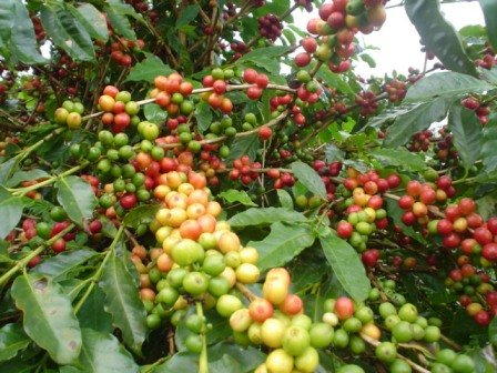 1318735208_coffeecherry (448x336, 55Kb