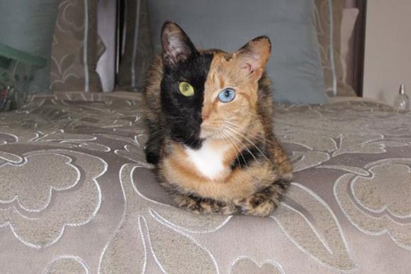 двуликая кошка венера 1 (580x386, 34Kb)