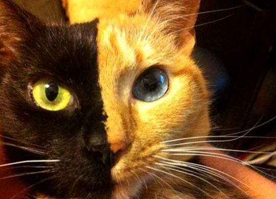 двуликая кошка венера 3 (540x390, 56Kb)