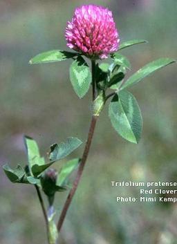 Trifolium_pratense (256x353, 13Kb)