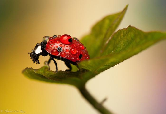Ladybugs-2 (700x479, 63Kb)