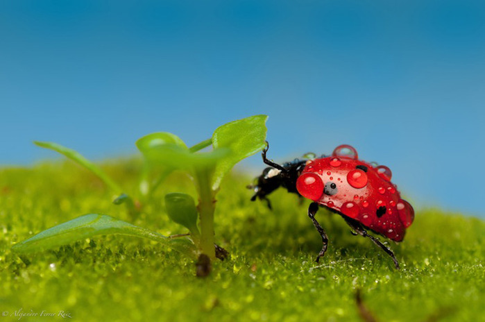 Ladybugs-3 (700x464, 74Kb)
