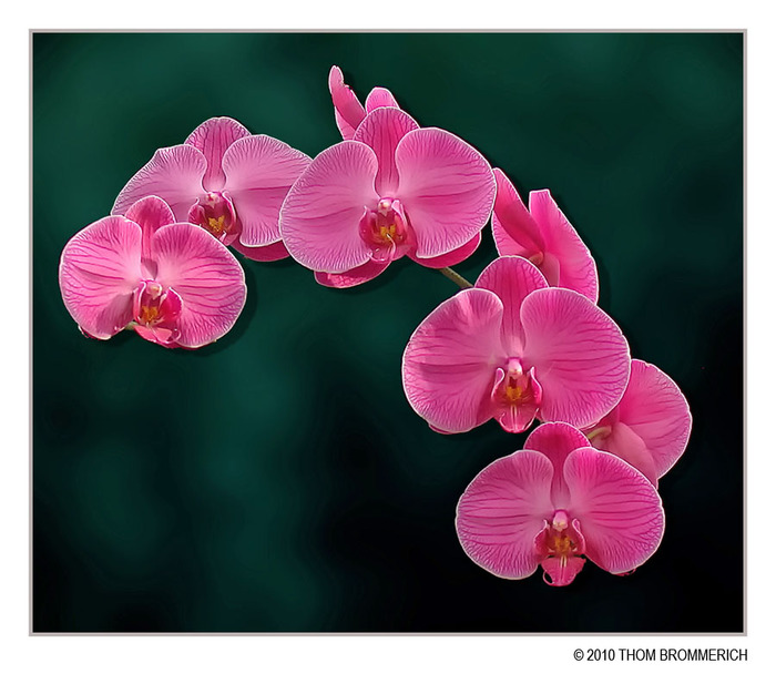 3166706_moth_orchid_2_11_by_thom_b_fotod3aphiy (700x626, 98Kb)