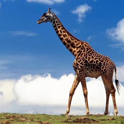 жираф (403x403, 22Kb)