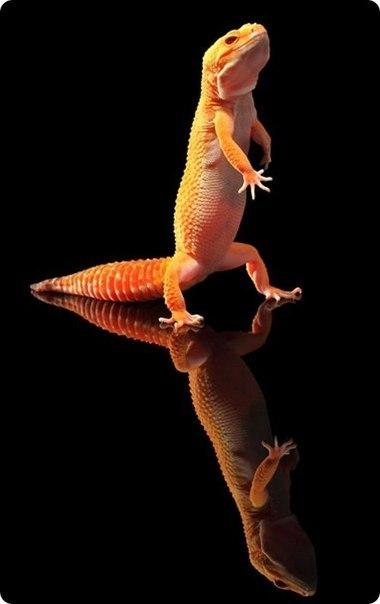 танцующий гекон фото 1 (380x604, 21Kb)