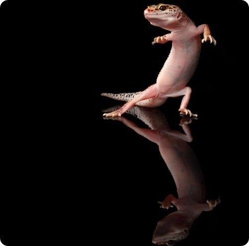 танцующий гекон фото 3 (500x494, 16Kb)