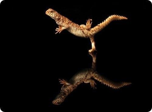 танцующий гекон фото 5 (500x369, 14Kb)