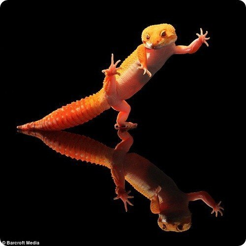 танцующий гекон фото 7 (500x499, 26Kb)