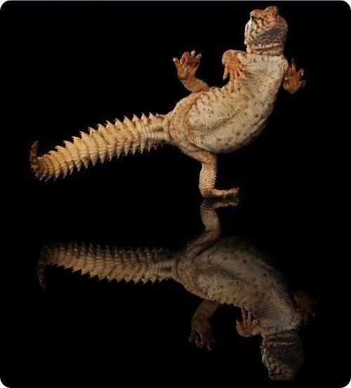 танцующий гекон фото 9 (500x554, 32Kb)