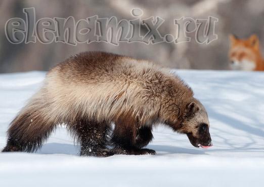 поиски в снегу гадание/4348076_poiskivsnegy (522x369, 48Kb)