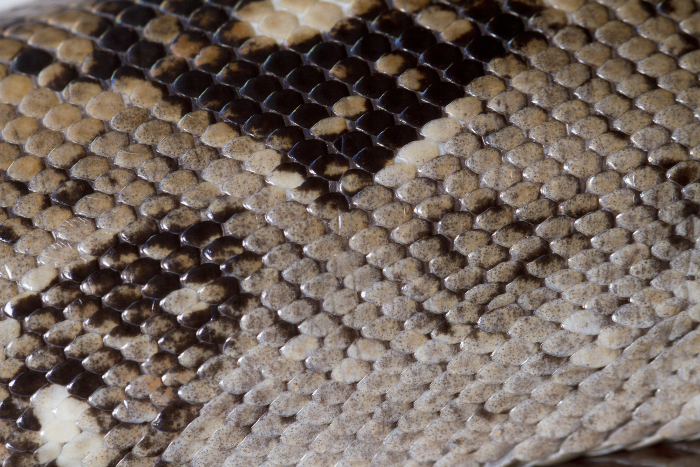 Reptile skin textures (56) (700x467, 522Kb)