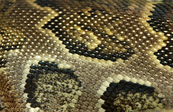 Reptile skin textures (78) (700x453, 488Kb)