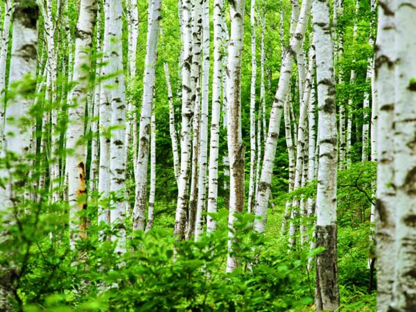 85287361_84576271_Spring_Birch_ForestWal_tangledwing (600x450, 182Kb)