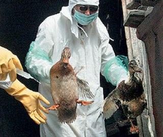 Индонезия - новый птичий грипп (320x270, 29Kb)