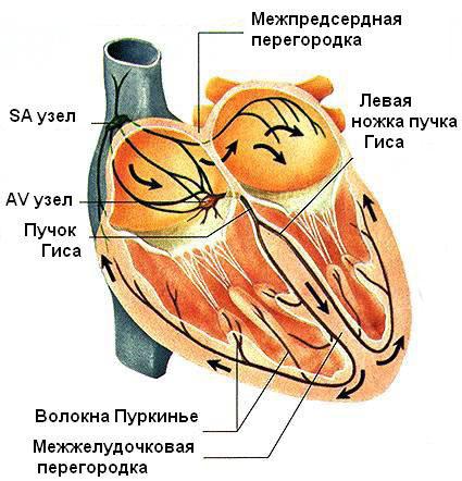 Пучок Гиса Волокна Пуркинье