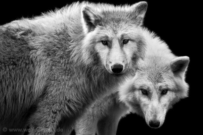 Немецкий фотограф Вольф Адемейт известен своей превосходной черно-белой фотосерией животных, сделанной в...