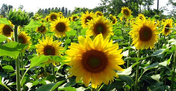 sun-flower1 (580x300, 77Kb)